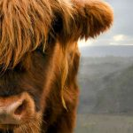 Scotland's BSE case is a reminder that many more may be out there
