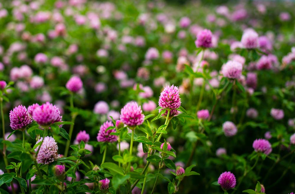 PMS-symptoms-Natural-remedies-will-help-Red-Clover