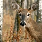 'Zombie deer' disease is spreading across the US: What you should know