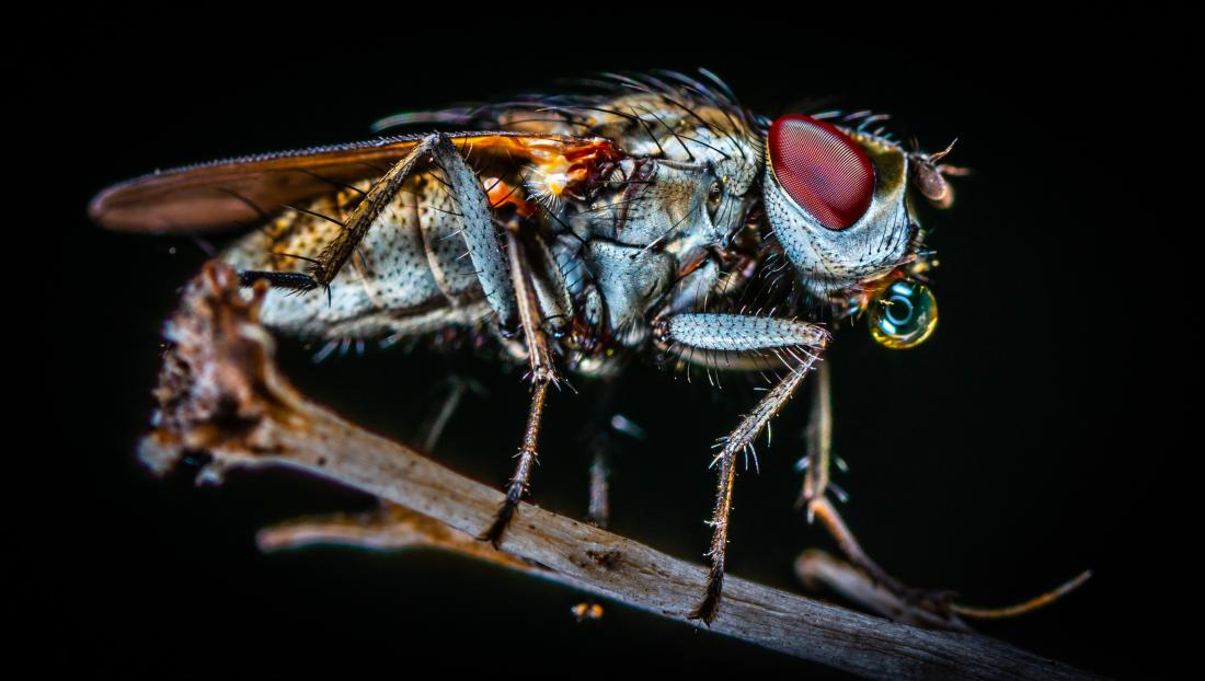 closeup image of a fly