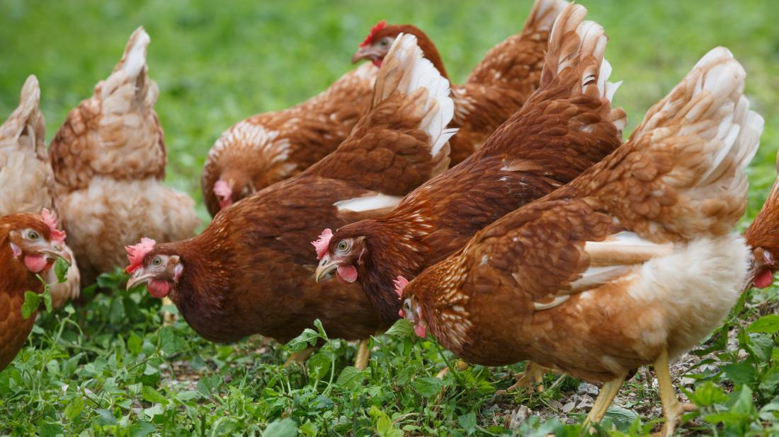 a bunch of free range chickens that may one day lay eggs